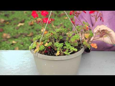 How to Keep Geraniums Blooming : Geranium Gardening