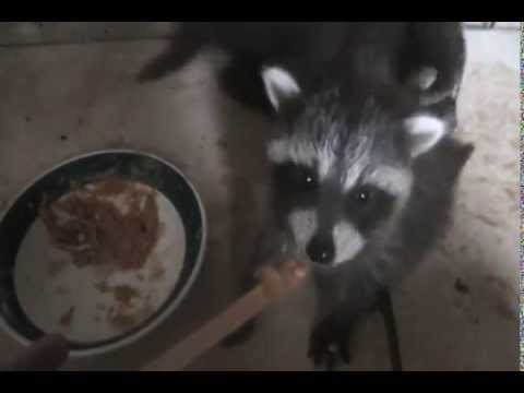 Baby Raccoons - Corie and Ted eating Peanut Butter