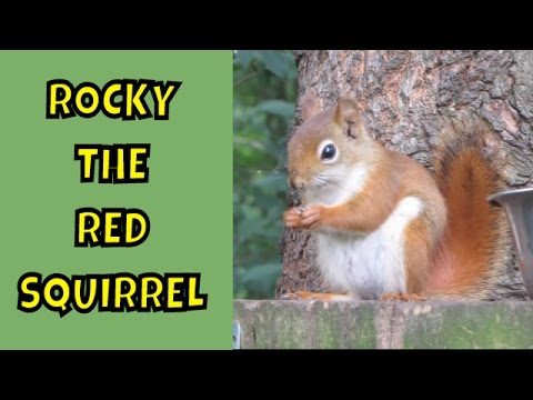 Making Friends with Rocky the Red Squirrel