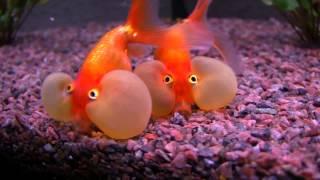 Bubble Eye - Goldfish