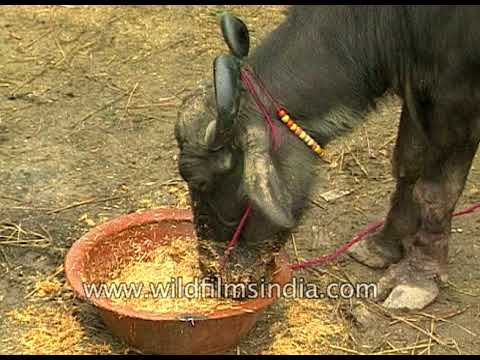 Cattle ahoy: Indian traders bring their livestock at Sonepur Mela, Bihar