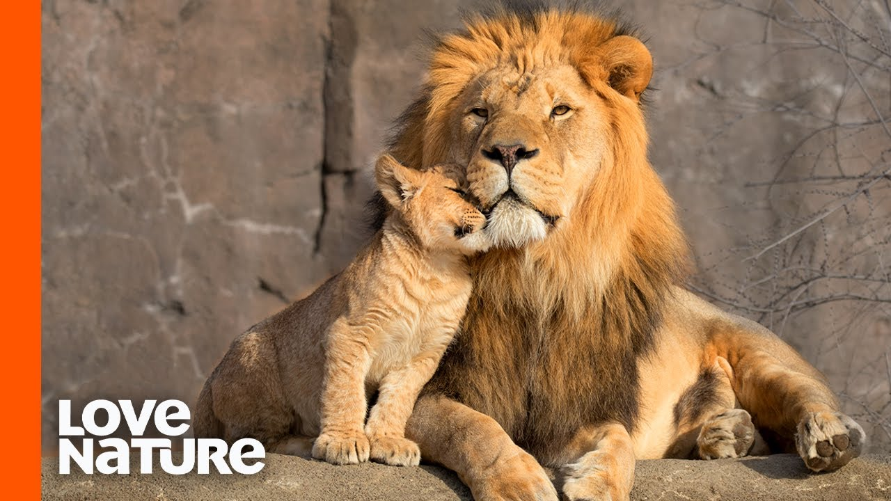 Lion Cubs Are Introduced To Their Father   Predator Perspective   Love Nature