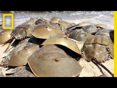 Horseshoe Crabs Mate in Massive Beach