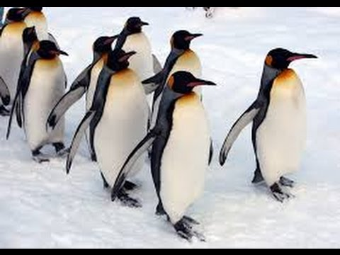 living with penguins in Antarctica,