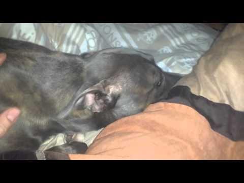 Dogs head bobbing (Idiopathic head tremors)
