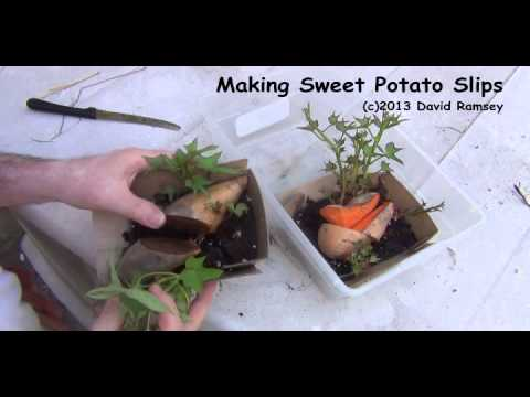 Sweet Potato Slips or Plants - Making your own