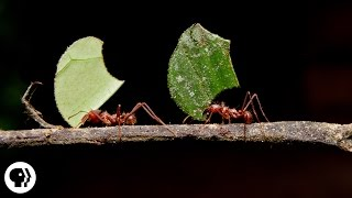 Where Are the Ants Carrying All Those Leaves?   Deep Look