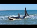 Download  Pearson Brothers Winery films 15ft Great White Shark and they also make a Great White Wine MP3,3GP,MP4
