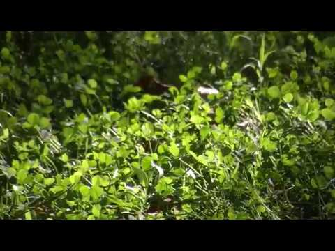 Clover as a grass turf replacement for lawns