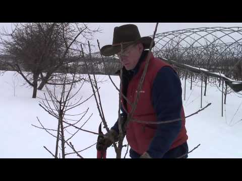 Pruning Gisela cherry - young tree pruning