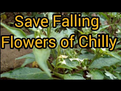 How to save falling flower of CHILLY plants // Mircha ke flowers ko girane se kaise roke? (Hindi and