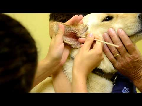Cleaning a dog's ear and applying medication