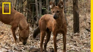 See the Wild Dog That Urinates In a Weird Way   National Geographic