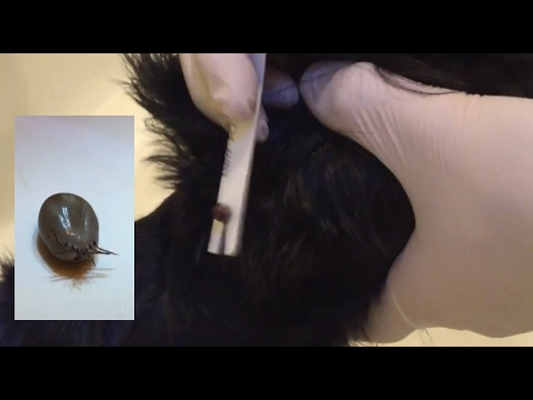 HUGE Engorged Tick on Dog [How To] Remove with DIY Tool