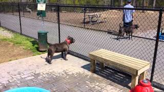 RAZOR EDGE/ GOTTI BLUE PIT BIG HEAD SHORTY pups for sale