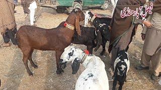 464 | GOAT FARMING K LIYE DESI NAGRA - AMRATSARI BEETAL