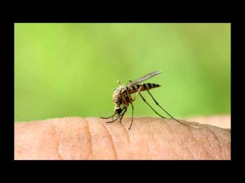 Mosquito Ringtone | Ringtones for Android | Funny Ringtones