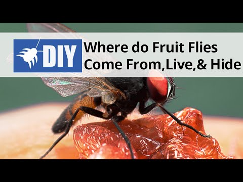 Where do Fruit Flies Come From, Live, and Hide