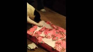 Dog opens Christmas Present