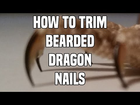 How to Trim a Bearded Dragon's Nails 2018 [4K].