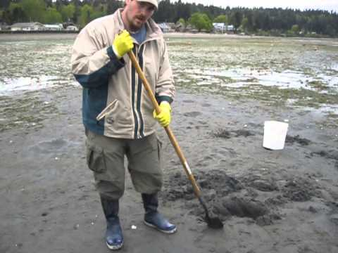 Digging for Horse Clams