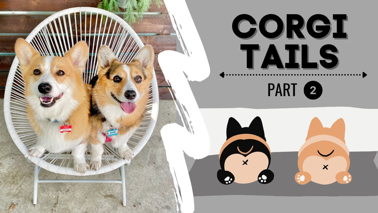 Talking Corgi Compilation | Dogs talking like humans! | Hammy and Olivia