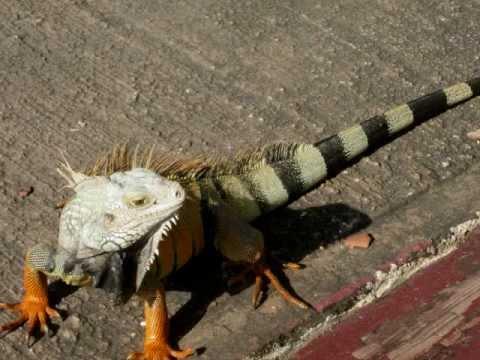 Iguanas in Puerto Rico