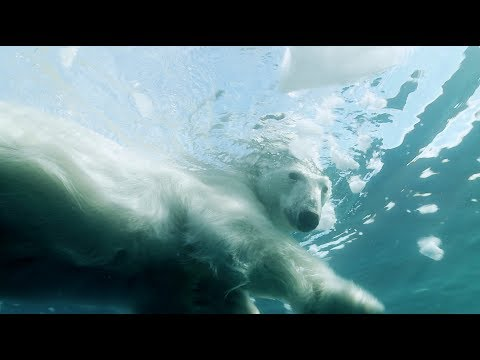 When ice melts, polar bears use 5x more energy to swim instead of walk