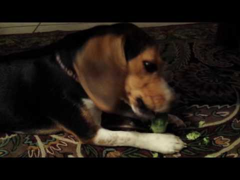 Dog Eats Organic Cucumber Freshly Picked from the Garden