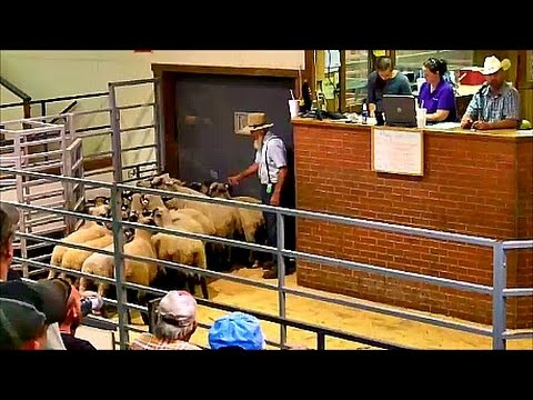 Selling Goats and Sheep at Auction