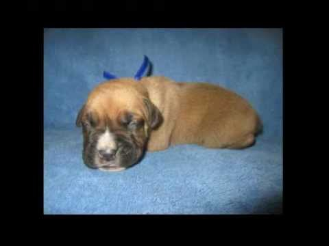 French Boxer Puppies