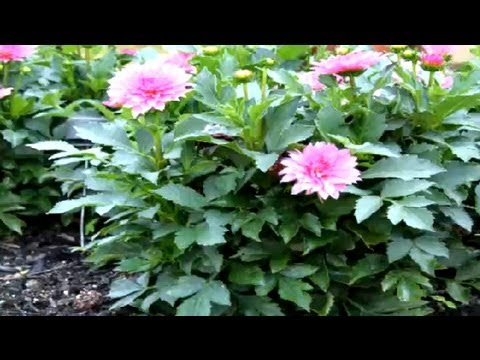 How to Dig Dahlia Bulbs in the Fall : Fall & Winter Flowers