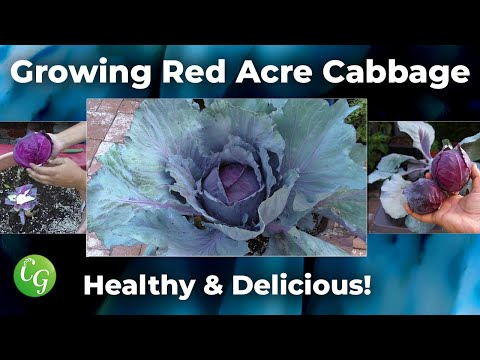 How To Grow Red Cabbages - Red Acre Cabbage Growing Guide