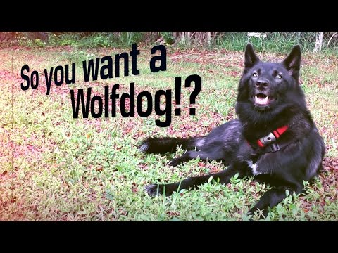 So You Want To Own a Wolfdog?
