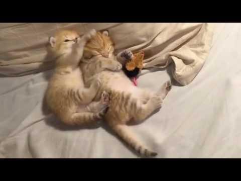 Annoying Cute Kitten - Cute Kitten Disturbing Another Kitty's Sleep