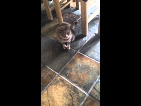 Very bad Cat Reverse Sneeze