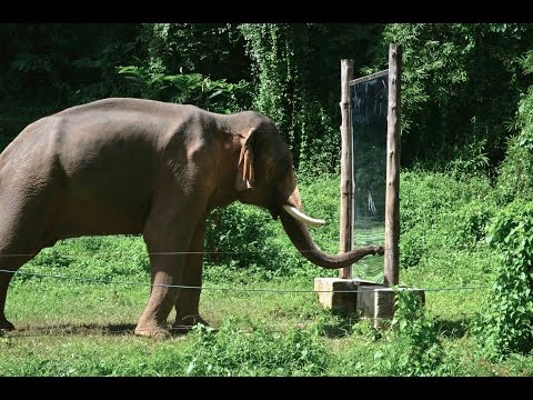 Mirror Self-Recognition in Asian Elephants!