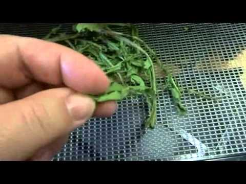 #55 How to make your own Dandelion Tea