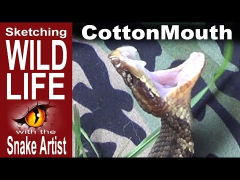 Sketching the Cottonmouth