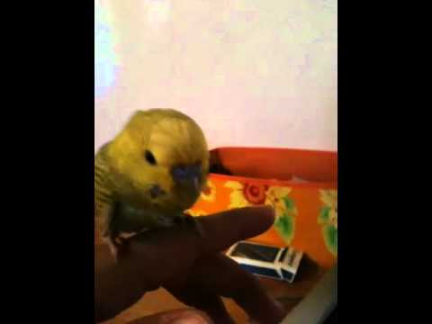 Someone tell me if my budgie is sick and what I can do?