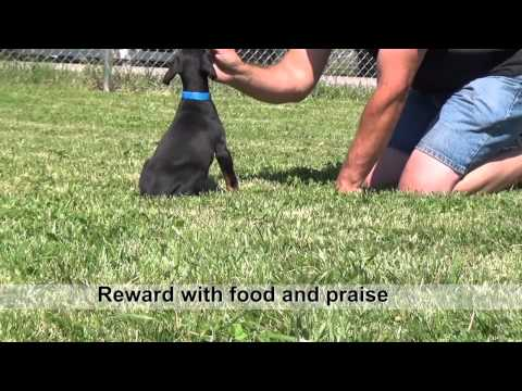 Training Doberman puppies