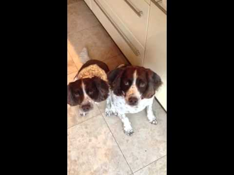 Molly and Gracie Springer Spaniels