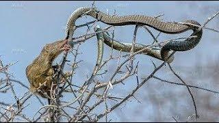 LIVE: TOP Attacks Wild Animals 2017 - New Craziest Wild Animal Fights Caught On Camera