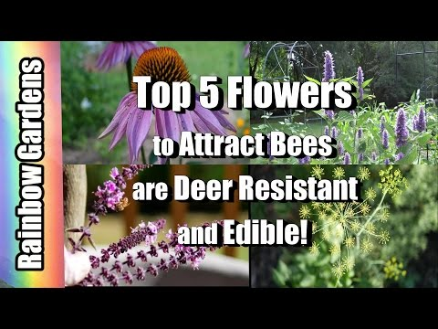 Top 5 Flowers in My Gardens to Attract Bees, They're Deer Resistant, and Edible!