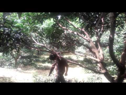 Mango tree pruning process