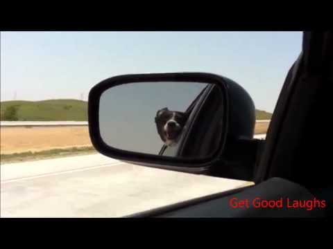 Funny Dog Barks At Passing Cars | Hilarious VIDEO! :-D| GGL