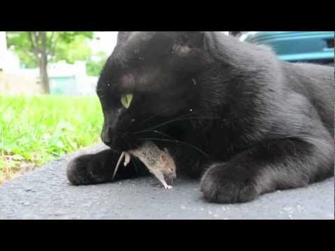 Black cat plays with live mouse