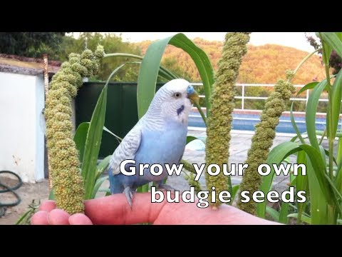 Grow your own budgie seeds