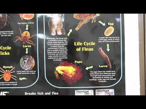 Life Cycle of ticks in dogs and fleas in cats