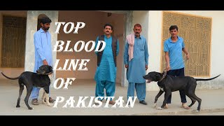 Famous Pakistani Batoona Blood Line Bully Dogs Owner Yasir Bhatti 2021 by@FM NEWS TV